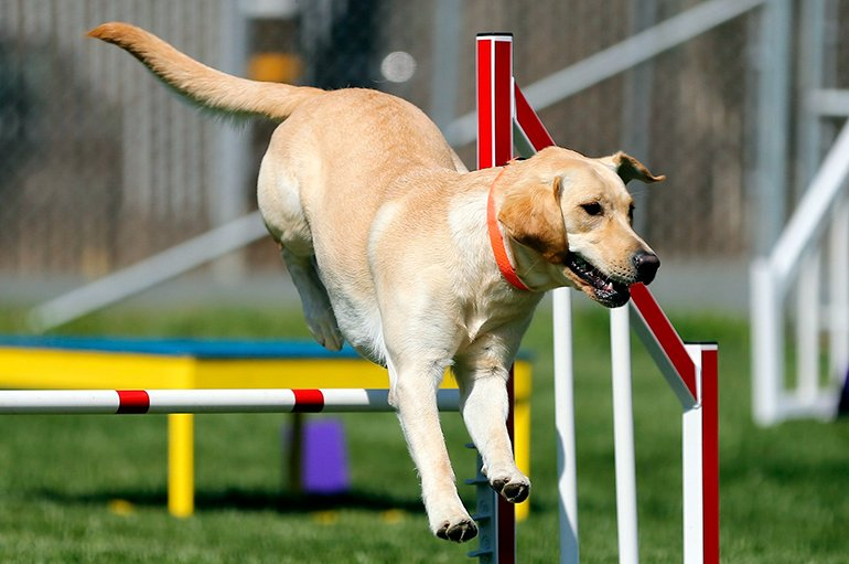 "labrador-jumping-in-Agility ""width ="" 770 ""height ="" 511 ""srcset ="" https://soyunperro.com/wp-content/uploads/2020/01/labrador-saltando-en-Agility.jpg 770w, https://soyunperro.com/wp-content/uploads/2020/01/labrador-saltando-en-Agility-300x199.jpg 300w, https://soyunperro.com/wp-content/uploads/2020/01/labrador -saltando-en-Agility-768x510.jpg 768w, https://soyunperro.com/wp-content/uploads/2020/01/labrador-saltando-en-Agility-696x462.jpg 696w, https://soyunperro.com /wp-content/uploads/2020/01/labrador-saltando-en-Agility-633x420.jpg 633w ""tailles ="" (largeur max: 770px) 100vw, 770px"