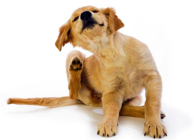 "chien-avec-périchondrite-gratter ""width ="" 770 ""height ="" 555 ""srcset ="" https://soyunperro.com/wp-content/uploads/2020/01/perro-con-pericondritis-rascandose.jpg 770w, https://soyunperro.com/wp-content/uploads/2020/01/perro-con-pericondritis-rascandose-300x216.jpg 300w, https://soyunperro.com/wp-content/uploads/2020/01/perro -con-pericondritis-scratching-768x554.jpg 768w, https://soyunperro.com/wp-content/uploads/2020/01/perro-con-pericondritis-rascandose-696x502.jpg 696w, https://soyunperro.com /wp-content/uploads/2020/01/perro-con-pericondritis-rascandose-583x420.jpg 583w, https://soyunperro.com/wp-content/uploads/2020/01/perro-con-pericondritis-rascandose- 324x235.jpg 324w ""tailles ="" (largeur max: 770px) 100vw, 770px"