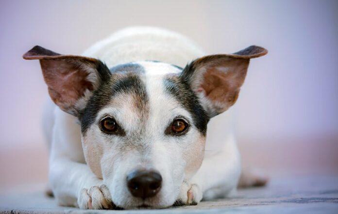 chien-écoute