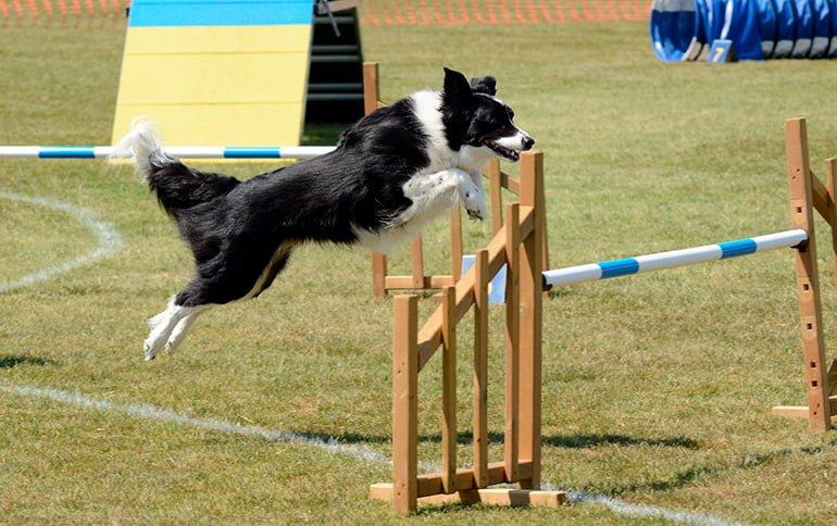 Agilité canine: avantages, tournois et tout ce que vous devez savoir