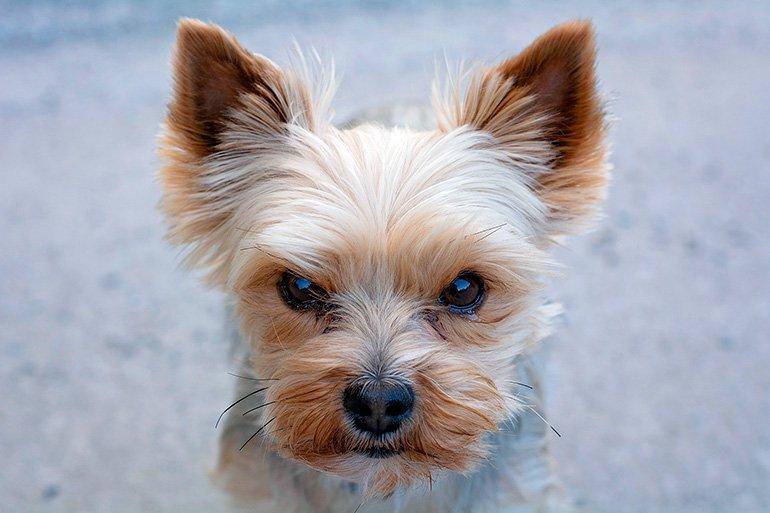 """petit chien au visage en colère """"width ="""" 770 """"height ="""" 513 """"srcset ="""" https://soyunperro.com/wp-content/uploads/2020/01/perro-pequeño-con-cara -de-enfadado.jpg 770w, https://soyunperro.com/wp-content/uploads/2020/01/perro-pequeño-con-cara-de-enfadado-300x200.jpg 300w, https://soyunperro.com /wp-content/uploads/2020/01/perro-pequeño-con-cara-de-enfadado-768x512.jpg 768w, https://soyunperro.com/wp-content/uploads/2020/01/perro-pequeño- con-cara-de-angry-696x464.jpg 696w, https://soyunperro.com/wp-content/uploads/2020/01/perro-pequeño-con-cara-de-enfadado-630x420.jpg 630w """"tailles = """"(largeur max: 770px) 100vw, 770px"""