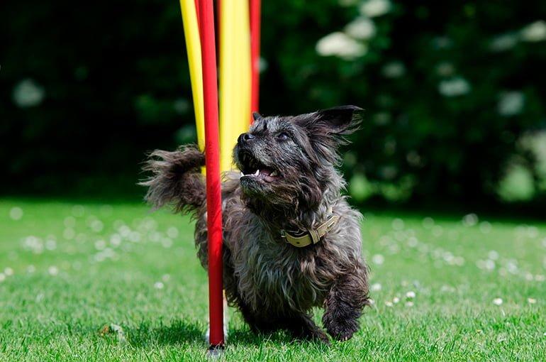 perro-pequeño-practicando-Agility