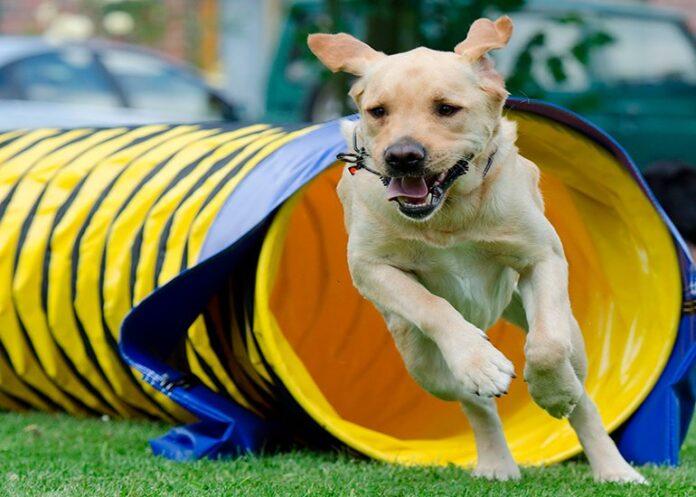 perro-saliendo-del-tunel-de-Agility
