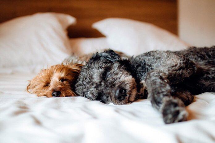 chiens dormant sur le lit