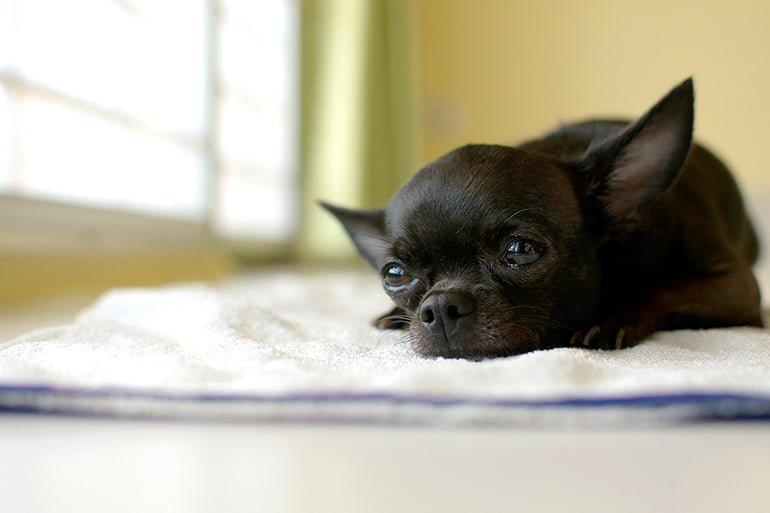 Différences entre la race Pinscher et Chihuahua