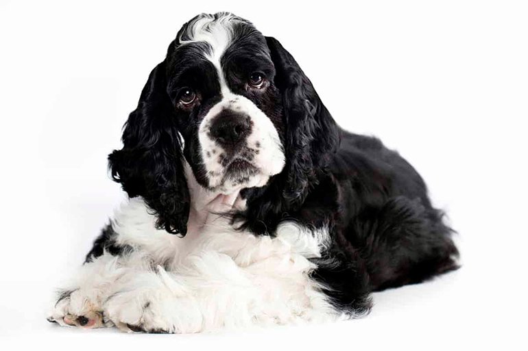 "cocker-american-dog ""width ="" 770 ""height ="" 513 ""srcset ="" https://soyunperro.com/wp-content/uploads/2020/02/cocker-americano-perro.jpg 770w, https: // soyunperro.com/wp-content/uploads/2020/02/cocker-americano-perro-300x200.jpg 300w, https://soyunperro.com/wp-content/uploads/2020/02/cocker-americano-perro-768x512 .jpg 768w, https://soyunperro.com/wp-content/uploads/2020/02/cocker-americano-perro-696x464.jpg 696w, https://soyunperro.com/wp-content/uploads/2020/02 /cocker-americano-perro-630x420.jpg 630w ""tailles ="" (largeur max: 770px) 100vw, 770px"