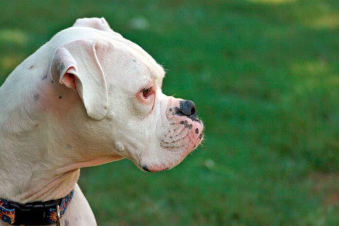 perro-bóxer-blanco