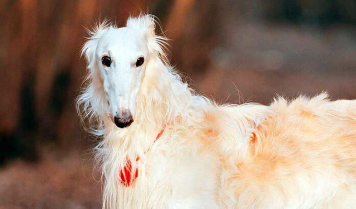 perro-galgo-ruso