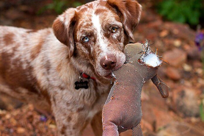 chien à mâcher un animal en peluche