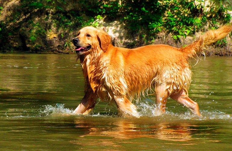 Golden-retriever-jugando-en-el-agua