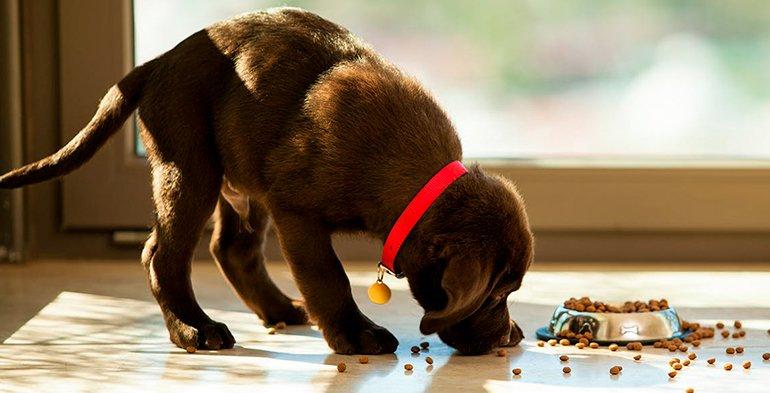 Reflux gastro-œsophagien chez le chien