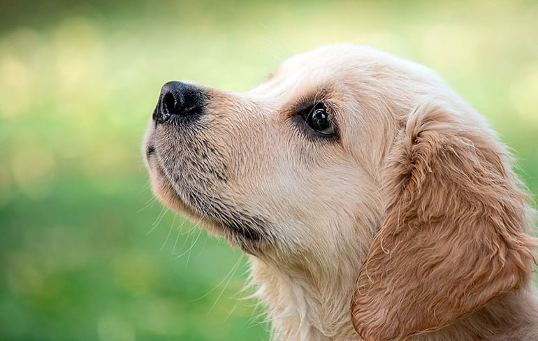 Comment prendre soin d'un Golden Retriever