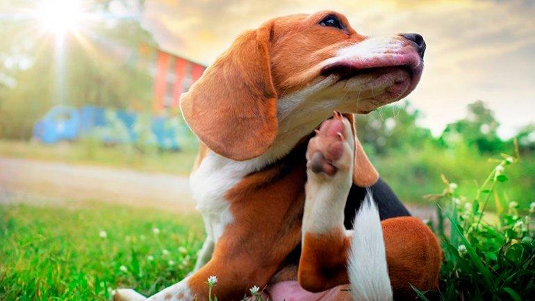 perro-con-alergia-en-el-hocico