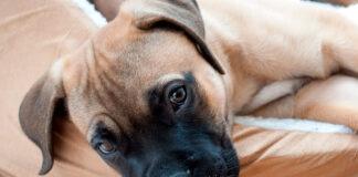 perro-con-megaesófago-tumbado