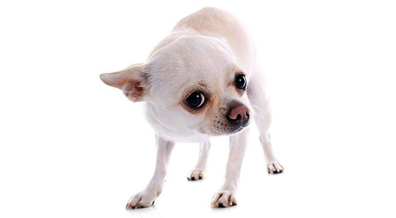 """chien avec des signes de peur """"width ="""" 770 """"height ="""" 424 """"srcset ="""" https://soyunperro.com/wp-content/uploads/2020/03/perro-con-deresles-de-miedo .jpg 770w, https://soyunperro.com/wp-content/uploads/2020/03/perro-con-cuerles-de-miedo-300x165.jpg 300w, https://soyunperro.com/wp-content/uploads /2020/03/perro-con-cuerles-de-miedo-768x423.jpg 768w, https://soyunperro.com/wp-content/uploads/2020/03/perro-con-cabeles-de-miedo-696x383. jpg 696w, https://soyunperro.com/wp-content/uploads/2020/03/perro-con-deresles-de-miedo-763x420.jpg 763w """"tailles ="""" (largeur max: 770px) 100vw, 770px"""