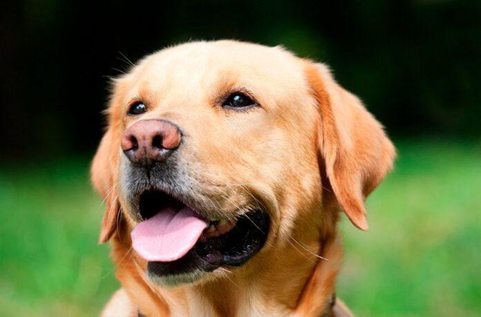perro-de-raza-labrador
