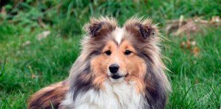 perro-pastor-pura-raza