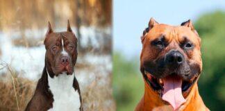 staffordshire-vs-pitbull