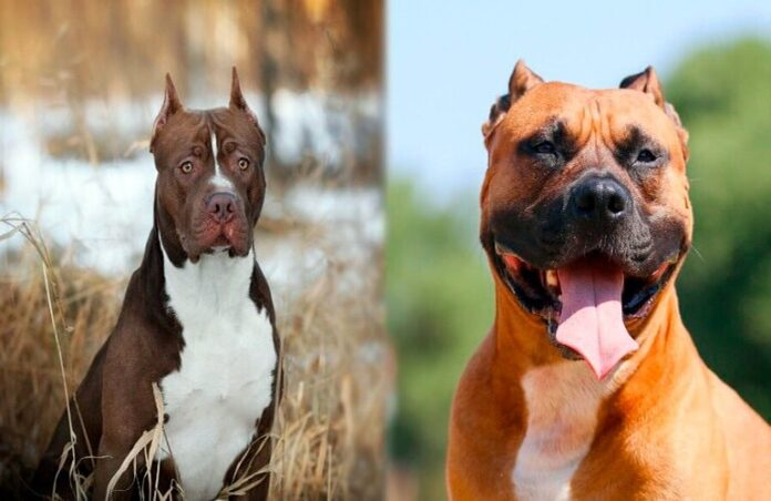staffordshire-vs-pitbull