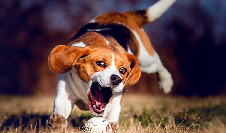 "Beagle-Harrier-catching-a-ball ""width ="" 770 ""height ="" 453 ""srcset ="" https://soyunperro.com/wp-content/uploads/2020/04/Beagle-Harrier-cogiendo-una-pelota .jpg 770w, https://soyunperro.com/wp-content/uploads/2020/04/Beagle-Harrier-cogiendo-una-pelota-300x176.jpg 300w, https://soyunperro.com/wp-content/uploads /2020/04/Beagle-Harrier-cogiendo-una-pelota-768x452.jpg 768w, https://soyunperro.com/wp-content/uploads/2020/04/Beagle-Harrier-cogiendo-una-pelota-696x409. jpg 696w, https://soyunperro.com/wp-content/uploads/2020/04/Beagle-Harrier-cogiendo-una-pelota-714x420.jpg 714w ""tailles ="" (largeur max: 770px) 100vw, 770px"