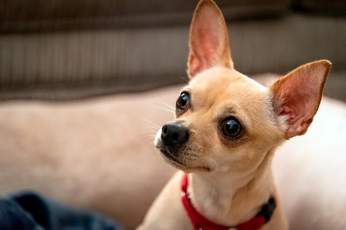 Différences entre le Chihuahua à tête de pomme et le Cerf