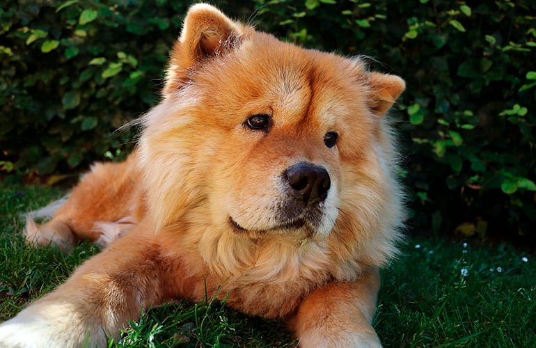 "Chow-Chow ""width ="" 770 ""height ="" 500 ""srcset ="" https://soyunperro.com/wp-content/uploads/2020/04/Chow-Chow.jpg 770w, https://soyunperro.com/ wp-content / uploads / 2020/04 / Chow-Chow-300x195.jpg 300w, https://soyunperro.com/wp-content/uploads/2020/04/Chow-Chow-768x499.jpg 768w, https: // soyunperro.com/wp-content/uploads/2020/04/Chow-Chow-696x452.jpg 696w, https://soyunperro.com/wp-content/uploads/2020/04/Chow-Chow-647x420.jpg 647w "" tailles = ""(largeur max: 770px) 100vw, 770px"