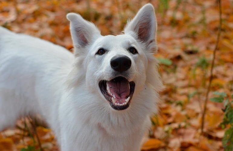 12 grandes races de chiens