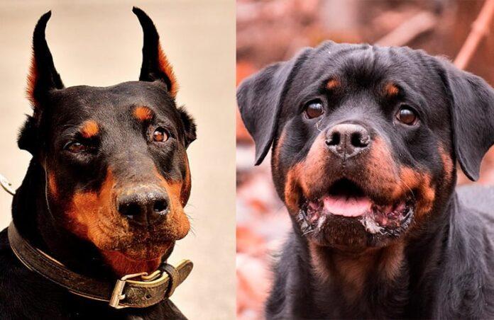 dóberman-vs-rottweiler