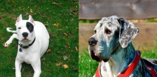 dogo-argentino-vs-gran-danés