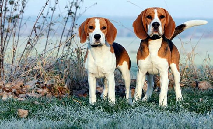 "paire de chiens-Beagle-Harrier ""width ="" 700 ""height ="" 427 ""srcset ="" https://soyunperro.com/wp-content/uploads/2020/04/pareja-de-perros-Beagle-Harrier .jpg 700w, https://soyunperro.com/wp-content/uploads/2020/04/pareja-de-perros-Beagle-Harrier-300x183.jpg 300w, https://soyunperro.com/wp-content/uploads /2020/04/pareja-de-perros-Beagle-Harrier-696x425.jpg 696w, https://soyunperro.com/wp-content/uploads/2020/04/pareja-de-perros-Beagle-Harrier-689x420. jpg 689w ""tailles ="" (largeur max: 700px) 100vw, 700px"