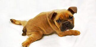 perro-con-el-síndrome-del-cachorro-nadador