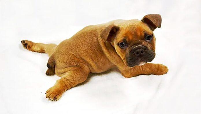 syndrome du chien-nageur-chiot