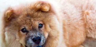 perro-con-lengua-azul