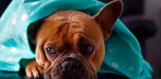 perro-con-rotavirus-bajo-una-manta