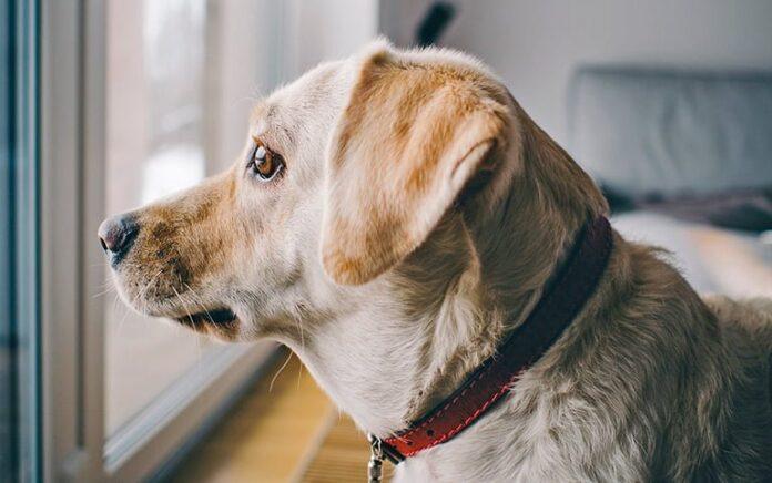 perro-confinado-en-casa