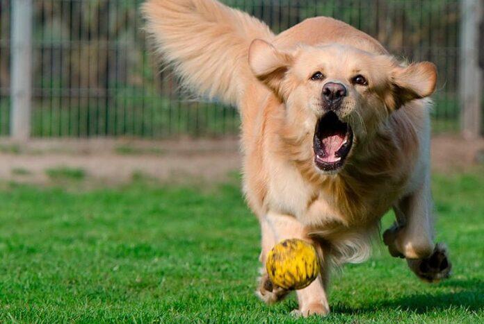 perro-corriendo-tras-la-pelota