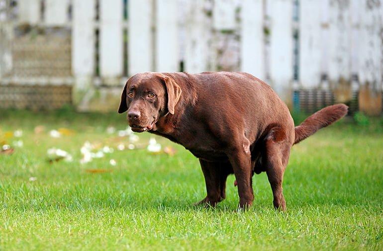 perro-defecando