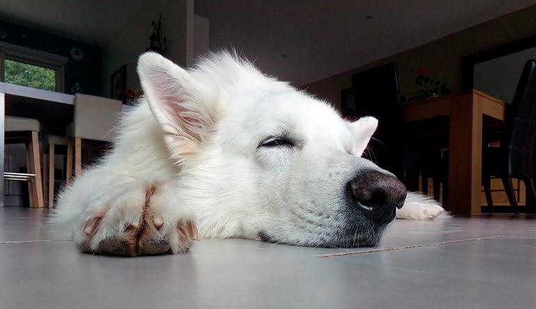 Mon chien dort beaucoup Est-ce normal ou est-il malade?