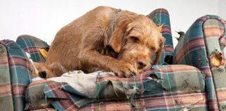 perro-mordiendo-un-sofá