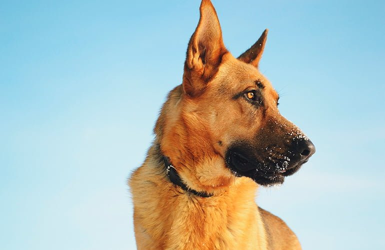 """chien-berger allemand """"width ="""" 770 """"height ="""" 500 """"srcset ="""" https://soyunperro.com/wp-content/uploads/2020/04/perro-pastor-alemán.jpg 770w, https: // soyunperro.com/wp-content/uploads/2020/04/perro-pastor-alemán-300x195.jpg 300w, https://soyunperro.com/wp-content/uploads/2020/04/perro-pastor-alemán-768x499 .jpg 768w, https://soyunperro.com/wp-content/uploads/2020/04/perro-pastor-alemán-696x452.jpg 696w, https://soyunperro.com/wp-content/uploads/2020/04 /perro-pastor-alemán-647x420.jpg 647w """"tailles ="""" (largeur max: 770px) 100vw, 770px"""