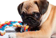 perro-pug-jugando-con-un-mordedor-de-cuerda