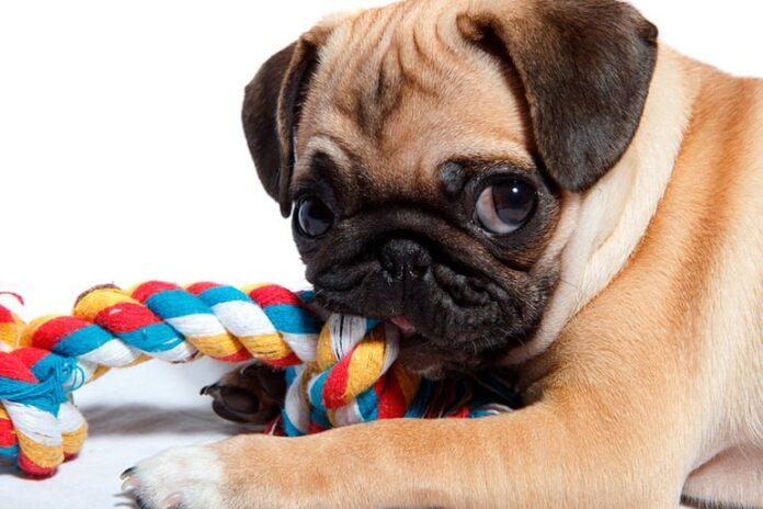 carlin-chien-jouant-avec-une-corde-anneau de dentition