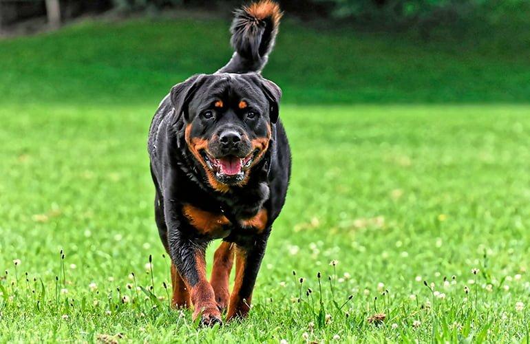 perro-rottweiler