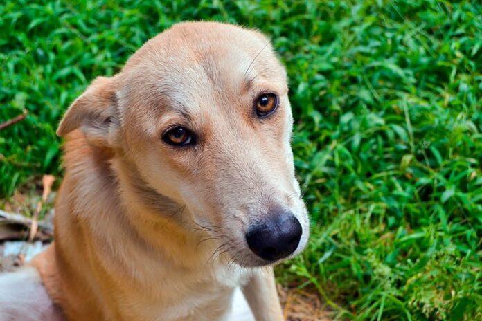 perro-tras-comer-hierba-por-parásitos