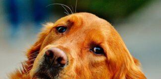 raza-de-perro-grande