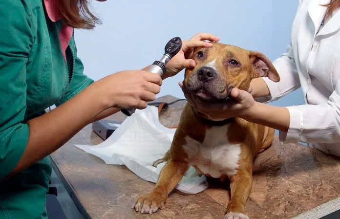 "dog-veterinary-review ""width ="" 696 ""height ="" 448 ""srcset ="" https://soyunperro.com/wp-content/uploads/2020/04/veterinaria-veterinaria-a-perro.jpg 696w, https://soyunperro.com/wp-content/uploads/2020/04/revisión-veterinaria-a-perro-300x193.jpg 300w, https://soyunperro.com/wp-content/uploads/2020/04/revisión -veterinaria-a-perro-653x420.jpg 653w ""tailles ="" (largeur max: 696px) 100vw, 696px"