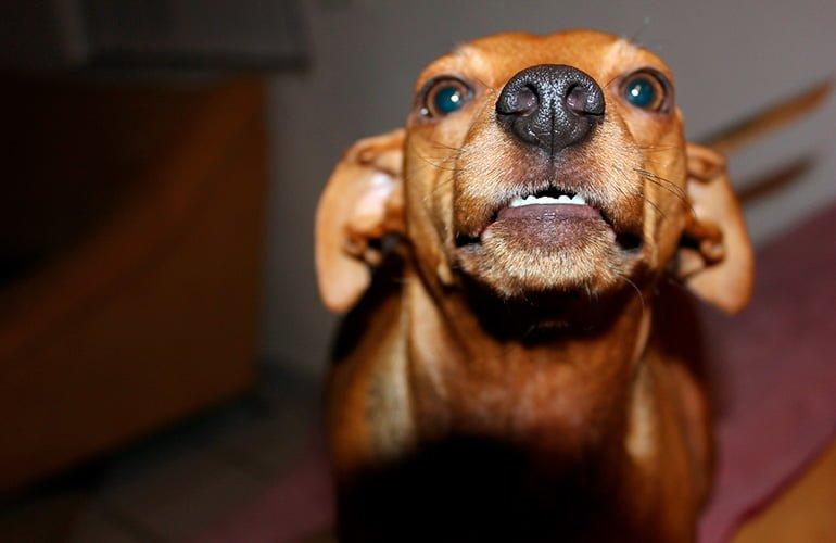 Comment savoir si un chien est en colère?