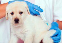 la-primera-vacuna-de-un-cachorro