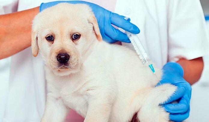 Vaccins pour chiots - Quand les mettre