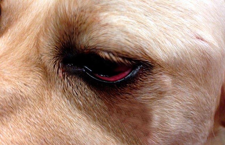 Causes des yeux rouges chez les chiens